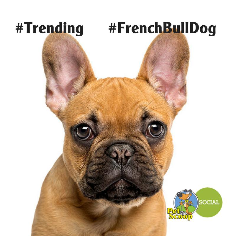 French Bull Dogj