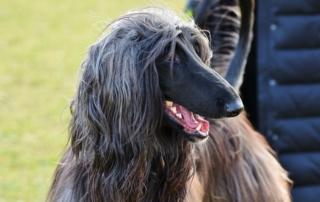 Afghan Dog Breed